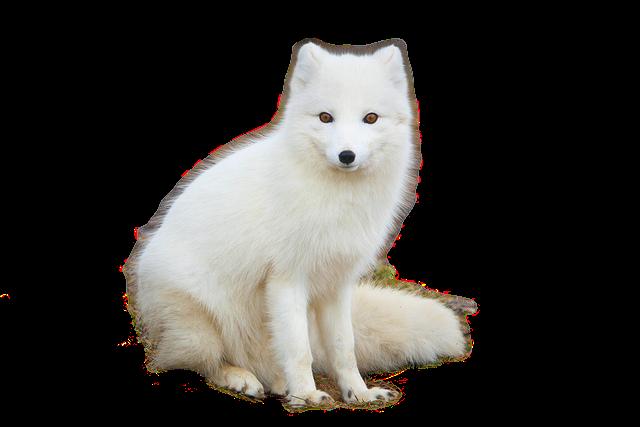 ثعلب القطب الشمالي Png Arctic Fox Fox Arctic