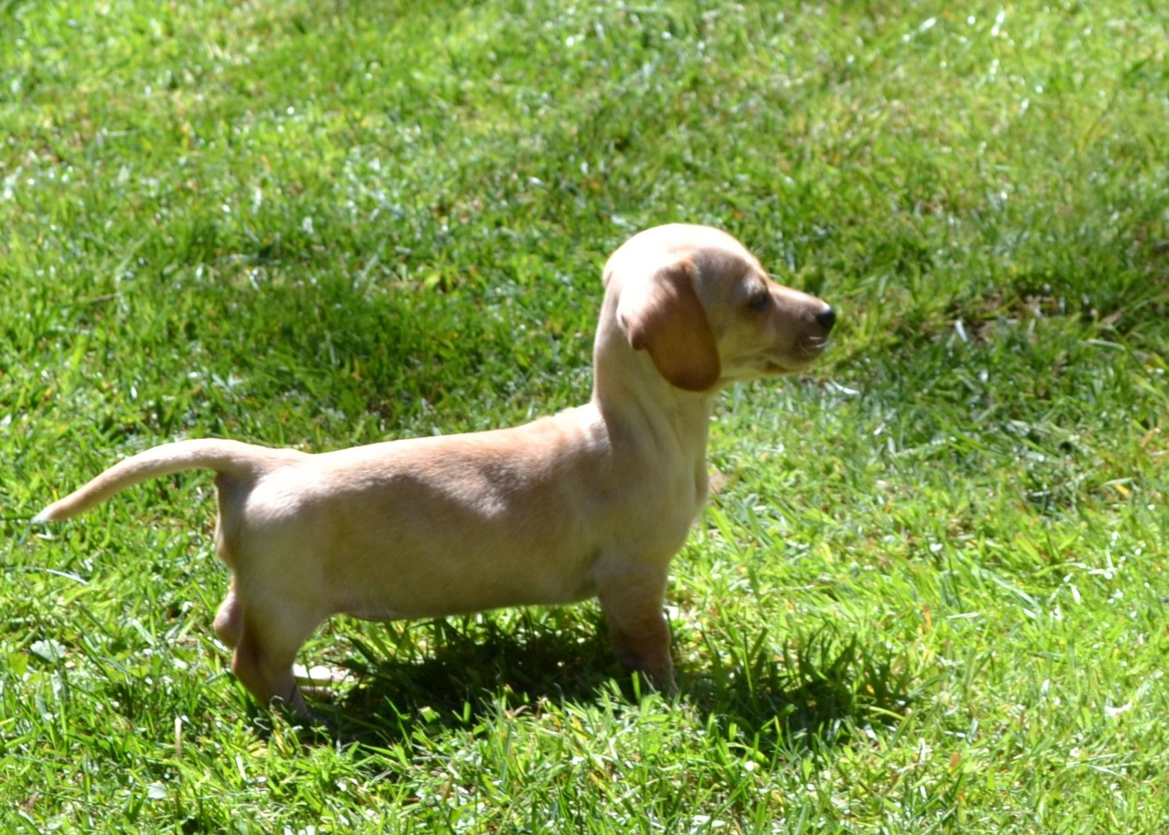 Lacey Our 7 Week Old Miniature Short Haired Dachshund White