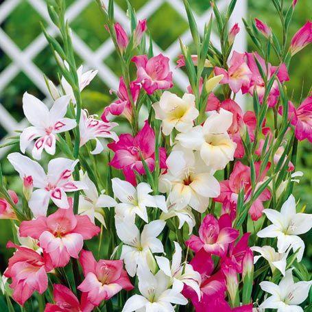 Winterharte Zwerg Gladiolen Mischung Gladiolus Nanus Sonstige Blumenzwiebeln Von Gartner Potschke Gladiolen Winterhart Herbstblumen