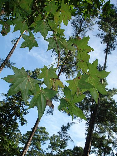 Foraging Texas Sweetgum Large Leaf Plants Edible Wild Plants Wild Edibles