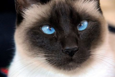 Snowshoe Siamese Cat - Google Search