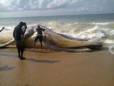 Sea Animals in Nigeria       Found On Alpha Beach In Lagos