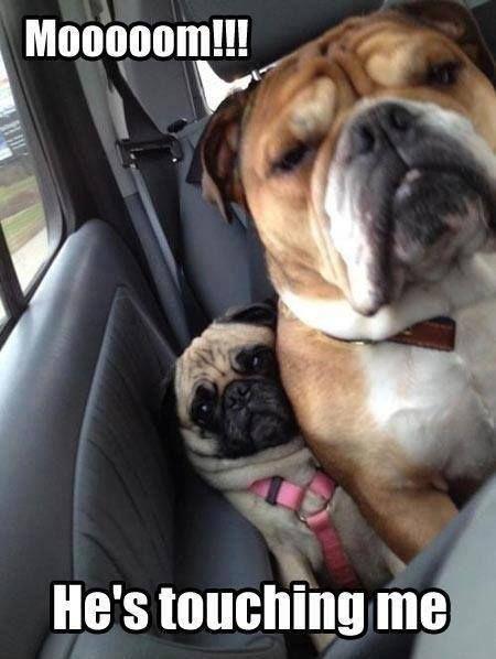 Haha, my bulldog Chloe does this to my pug Dutchess on every car ride we go on. Too funny.