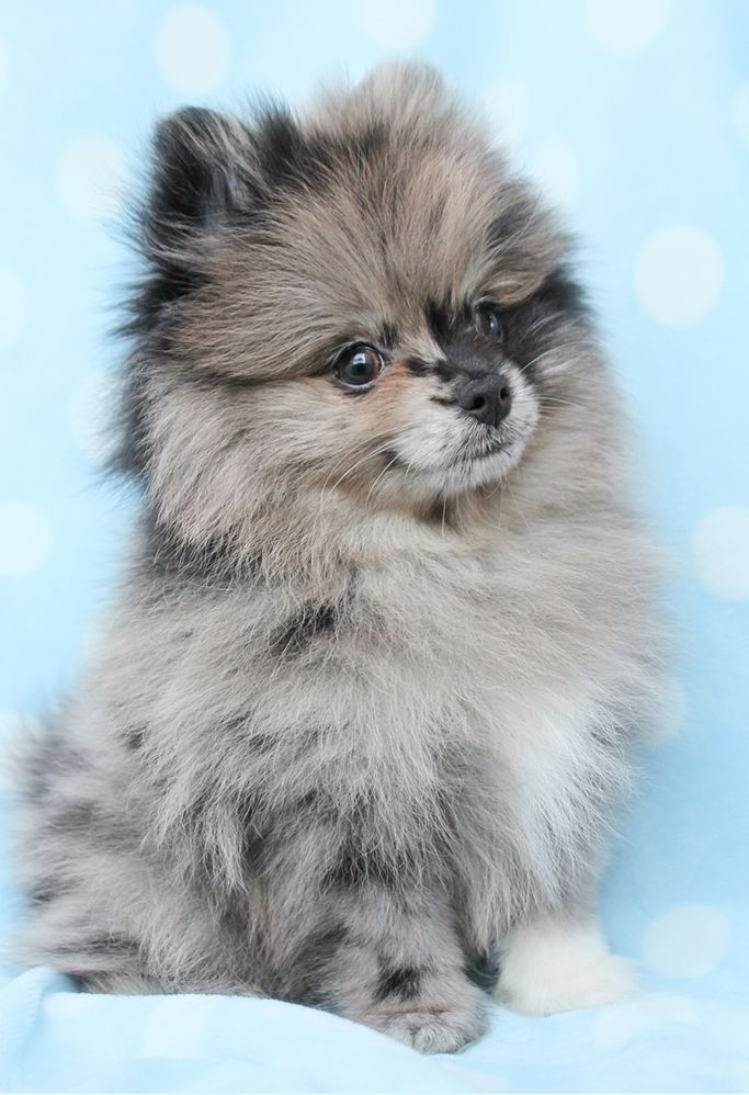 Teacup Pomeranians Pomeranians Pinterest Pomeranian Dogs And