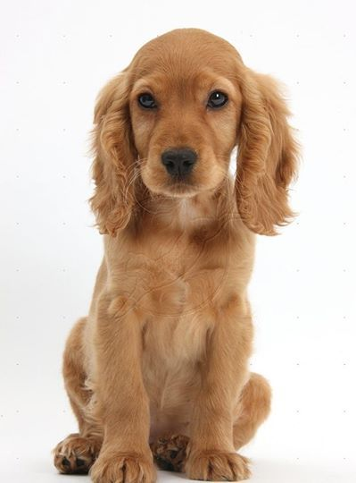 Limited Time Offer 50 On All Pure Breed Puppies Available Breeds Chihuahua Pomeranian Cocker Spaniel Puppies Golden Cocker Spaniel Spaniel Puppies