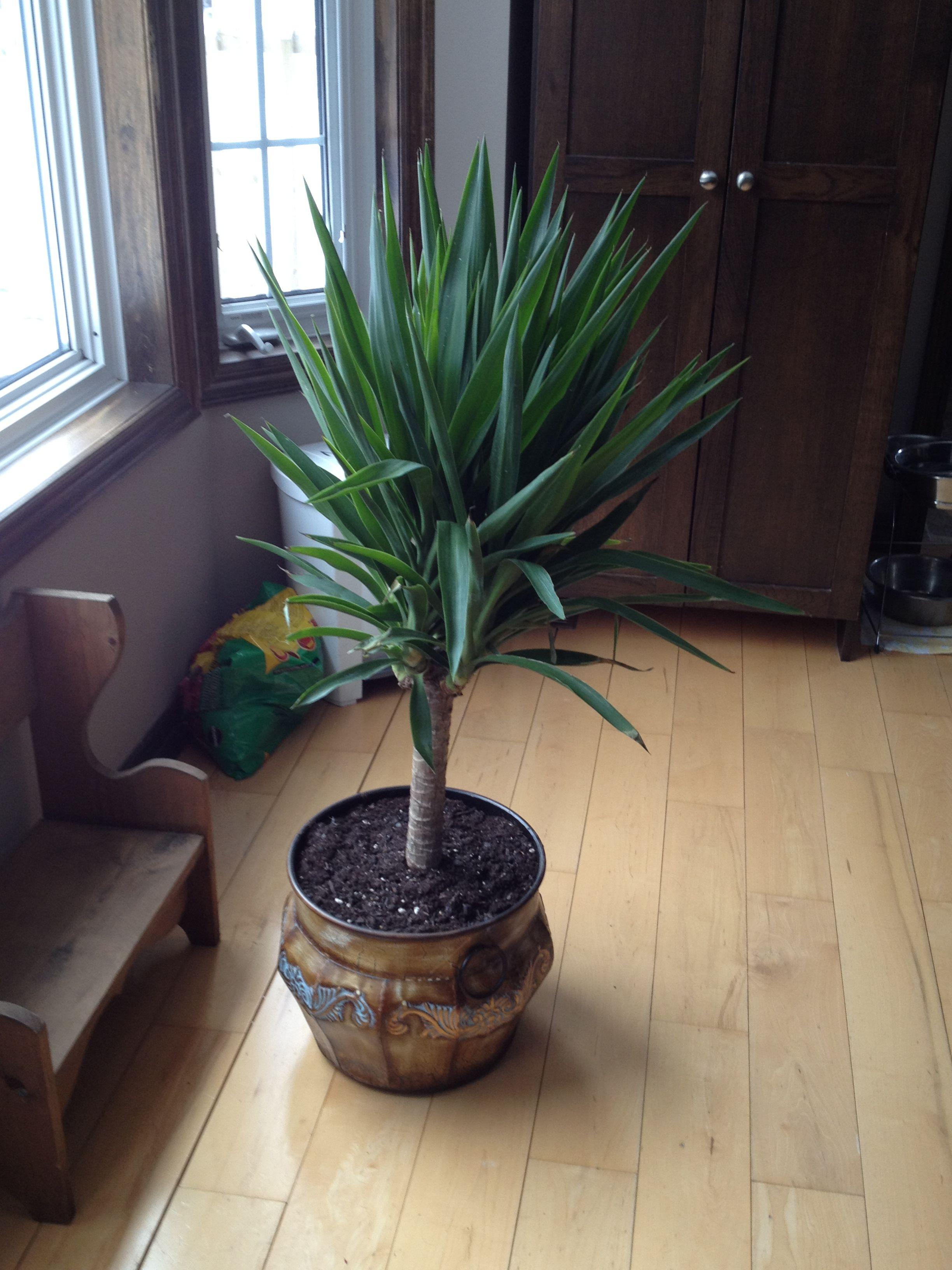 Yucca Plant   Plants, Yucca plant, Garden design