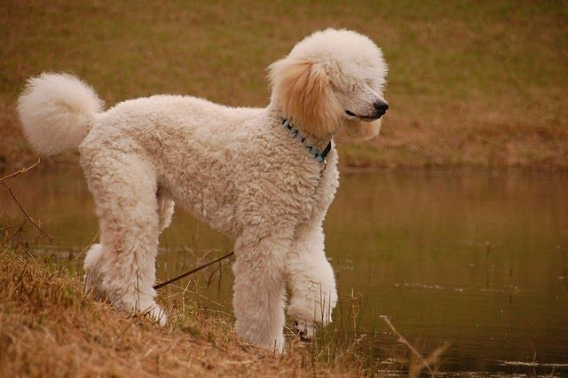 10 Most Popular Dog Breeds In The Philippines Popular Dog Breeds