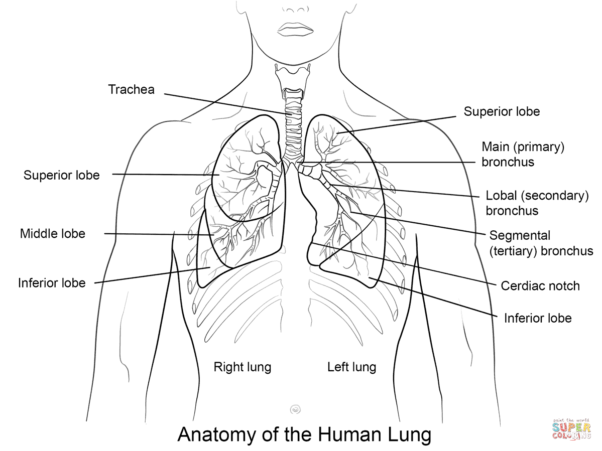 Human Lungs Coloring Pages 899