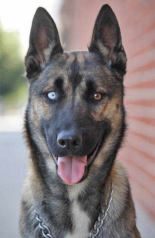 Belgian Malinois Husky Mix Puppies - Goldenacresdogs.com