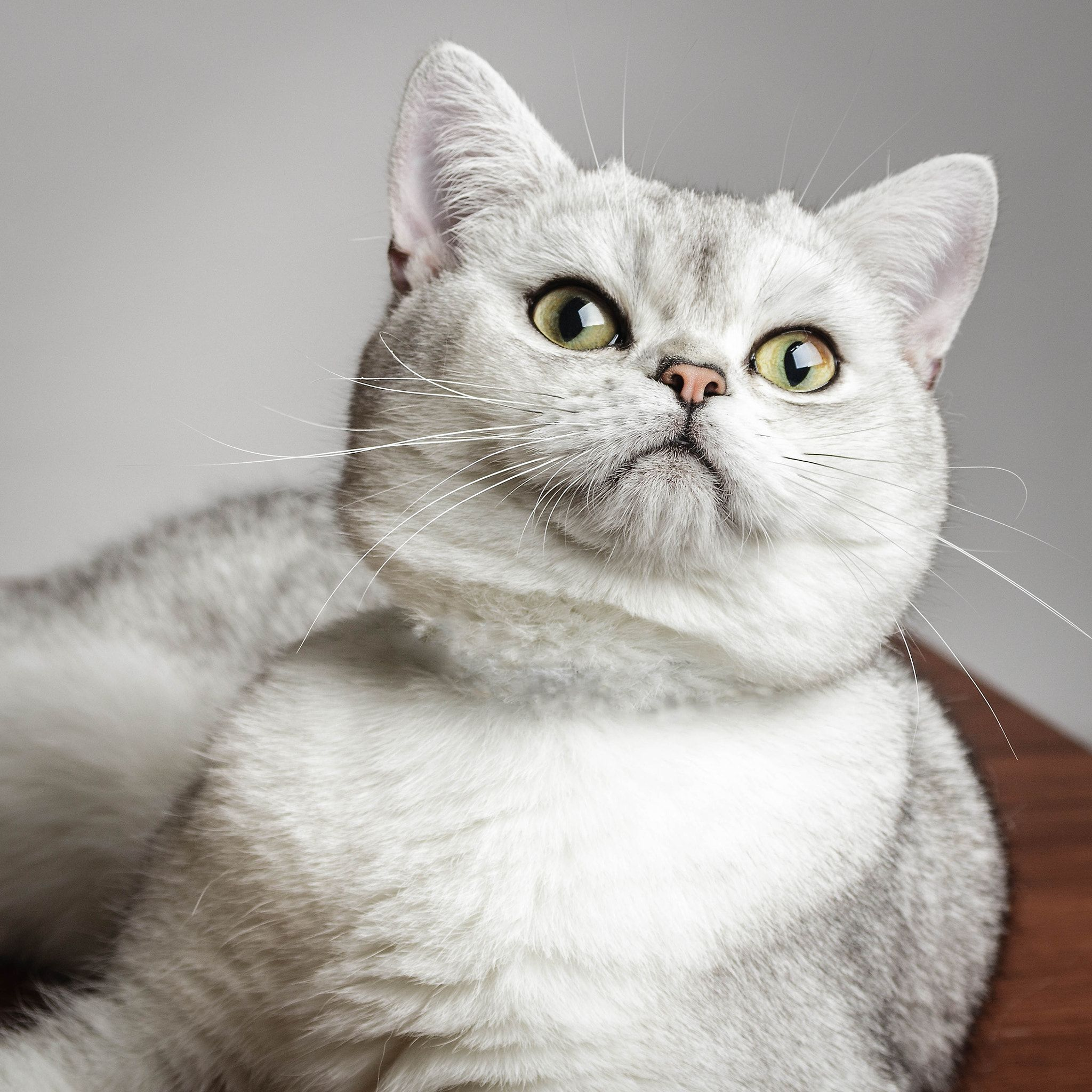 Simba British Shorthair Null British Shorthair Cat British Shorthair Grey And White Cat