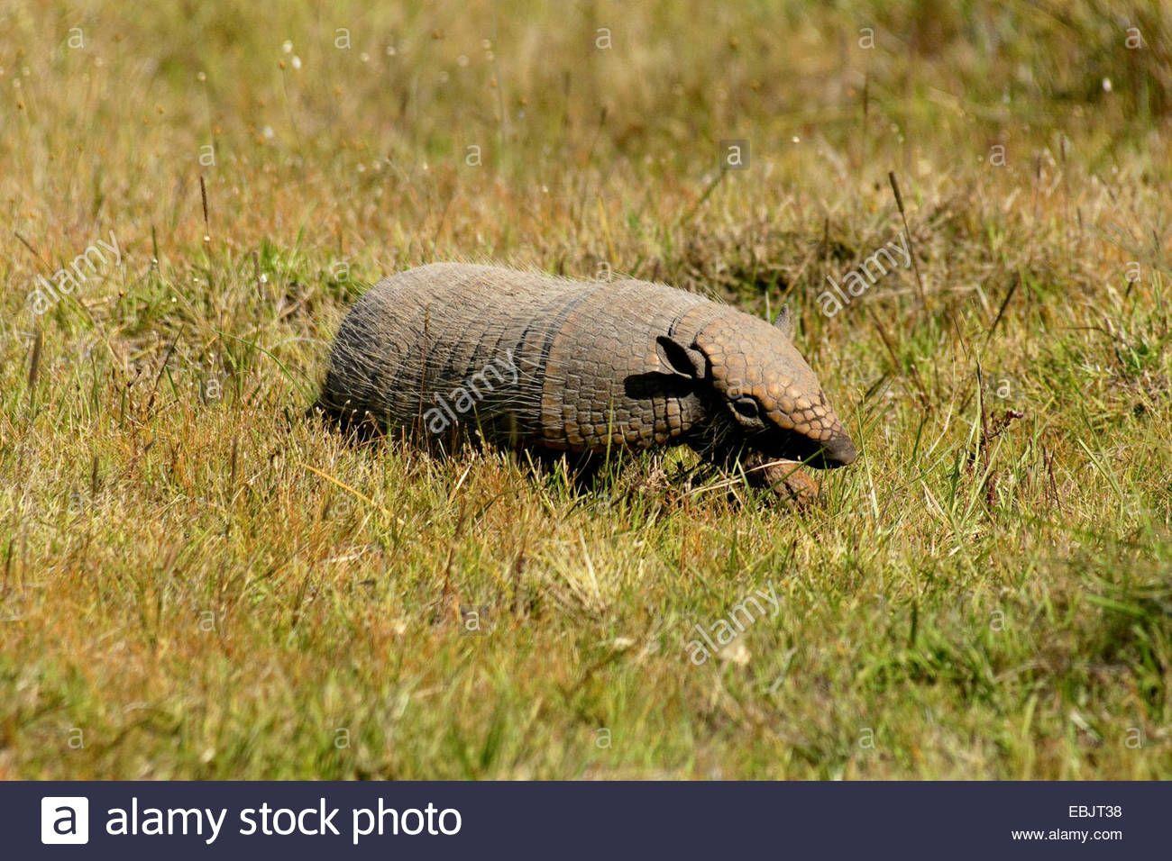 Seven-banded armadillo