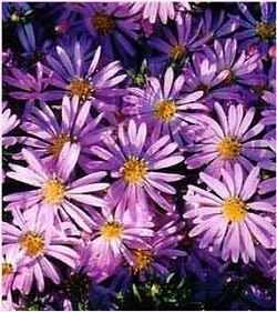 Aster Novi Belgii New York Aster Habitat Moist Meadows Thickets And Shores Height 1 3 Feet Flower Purple Rays Around Fall Flowers Plants Perennials