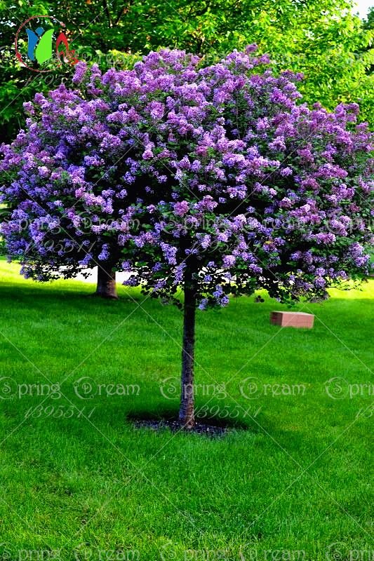 Lilac Flower Tree Seeds 50pcs Bag Perennial Garden Aromatic Plant Seeds Clothing Shoes Jewelry Women Men Ha Easy Landscaping Lilac Tree Yard Landscaping