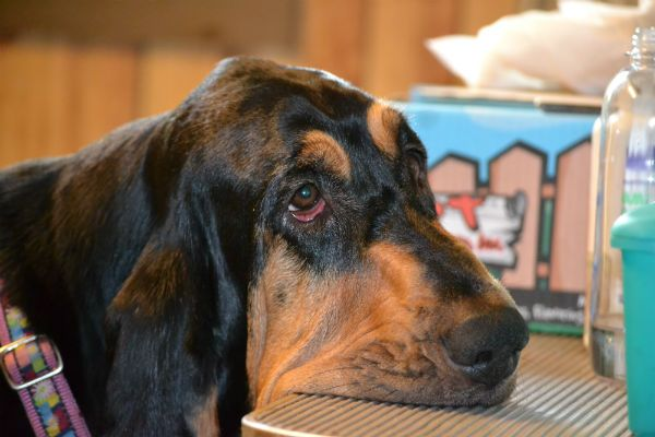 10 Things Only Bloodhound Owners Will Understand Bloodhound
