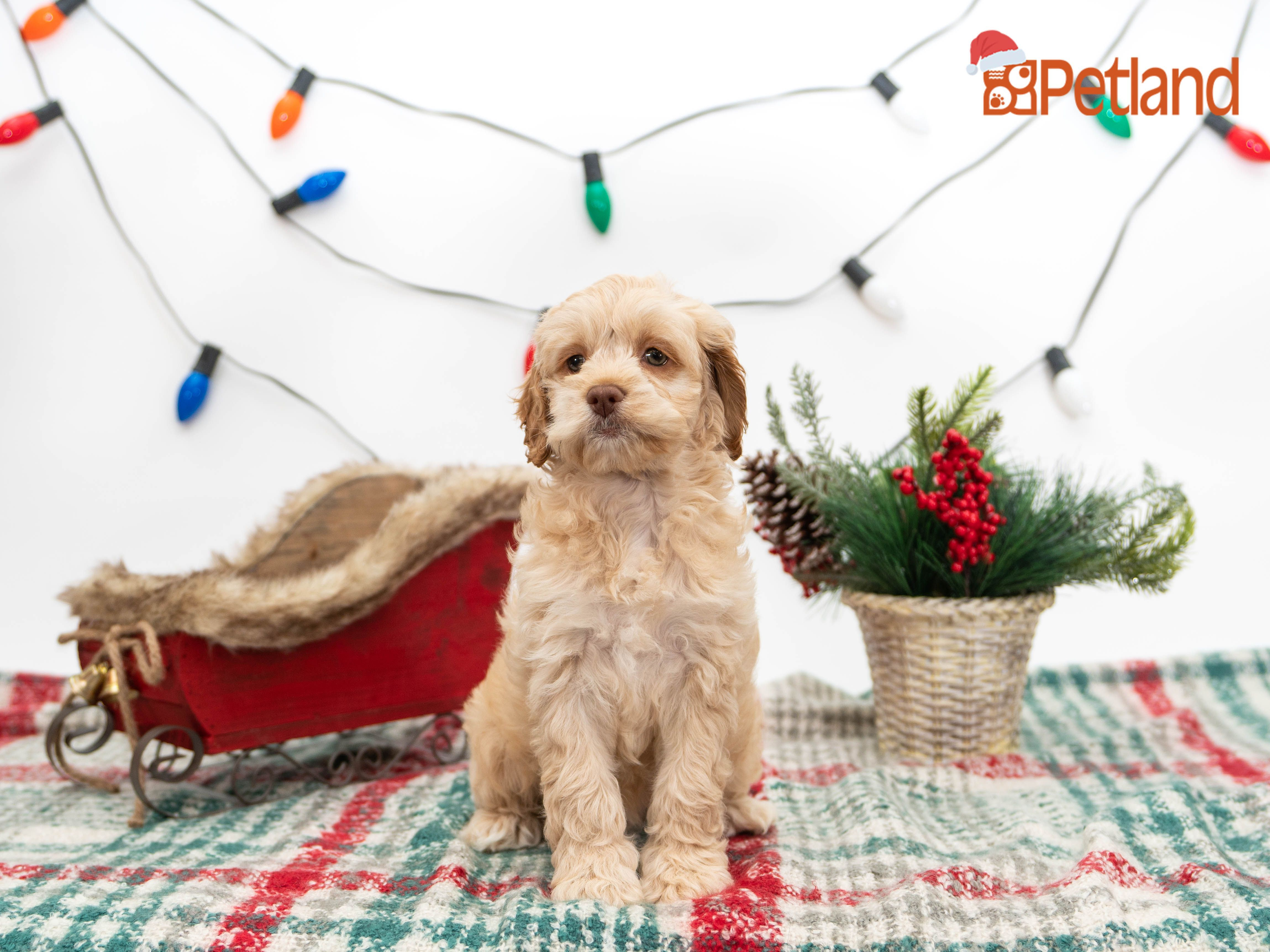 Puppies For Sale Cockapoo Puppies For Sale Cockapoo Puppies Cute Animals