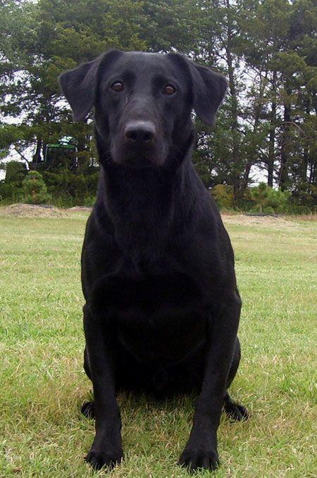 Pin By Pablo Braun On Black Labs Labrador Retriever Puppies Labrador Retriever Black Labrador Retriever