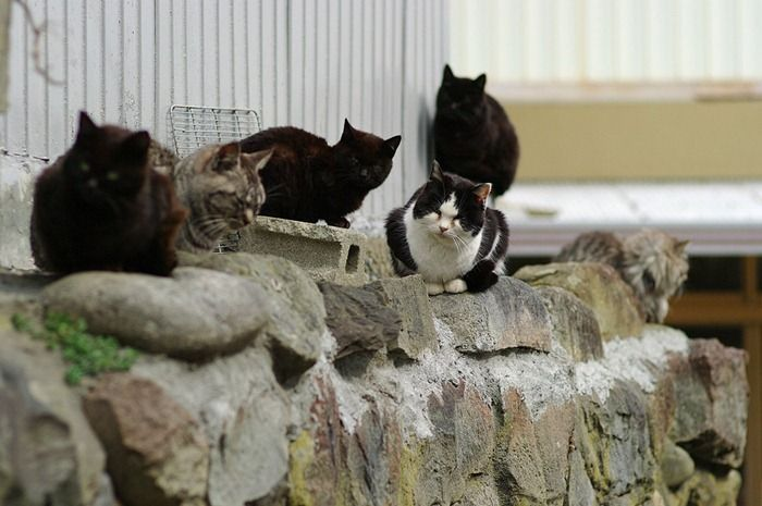Tashirojima - The Cat Island of Japan   Amusing Planet