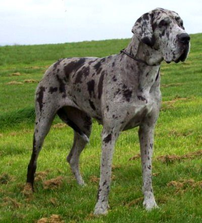 Great Danes = best dogs ever! (I will have one, one day ...