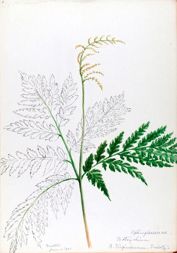 v.1 (1888-1910) - [Water-color sketches of plants of North America and Europe] - Biodiversity Heritage Library