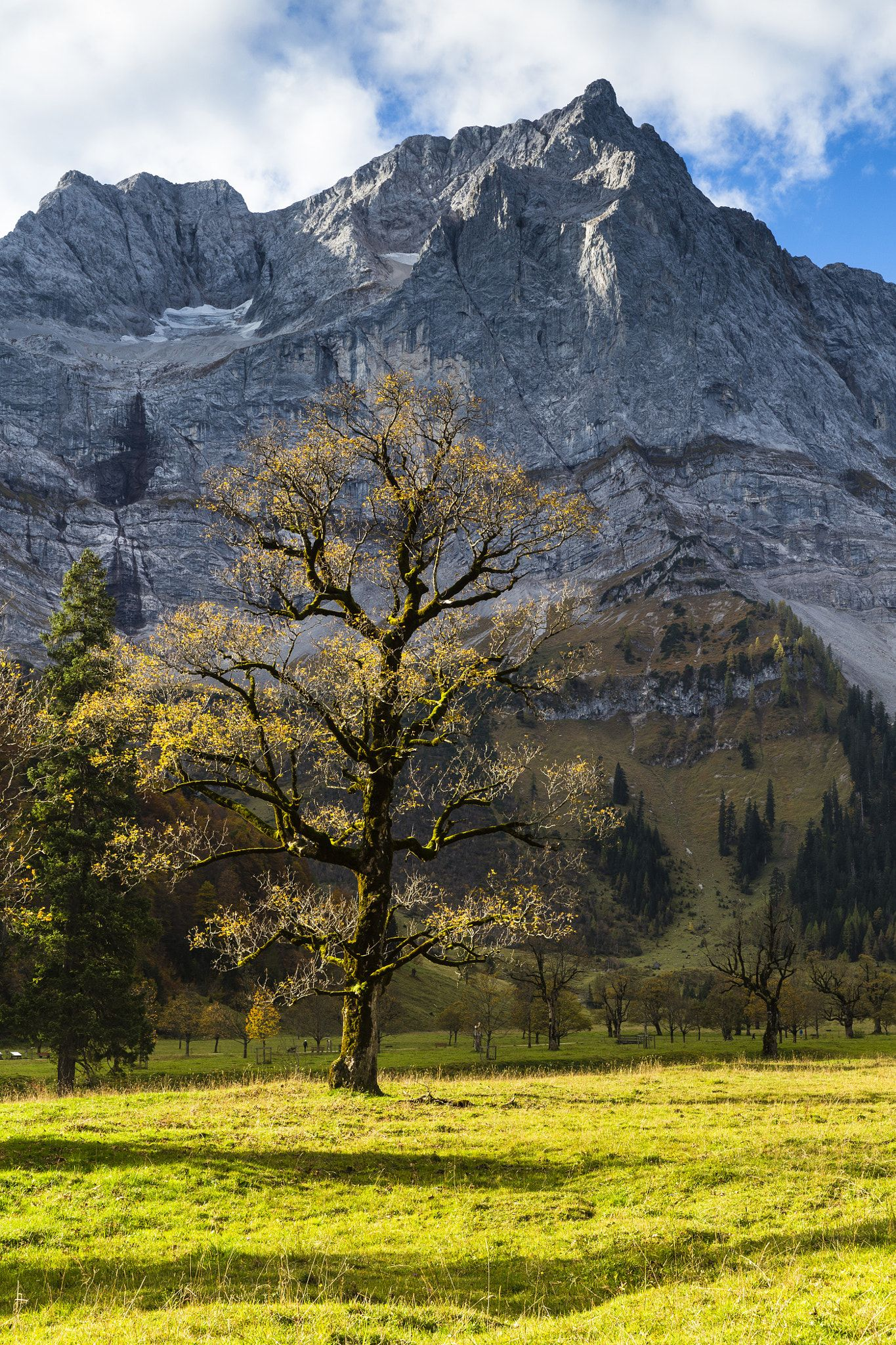 Old Sycamore Maple Acer Pseudoplatanus Tree And Karwendel Range