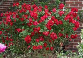 Champlain Rose Rose Garden Landscape Front Yard Landscaping Knockout Roses