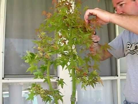 japanese maple #japanesemaple Pruning Japanese Maple Tree Pre Bonsai Part 1,  #B...#bonsai #japanese #japanesemaple #maple #part #pre #pruning #tree