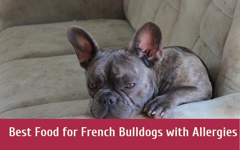 Best Food for French Bulldogs with Allergies French