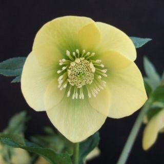 11. Ashwood Garden Hybrids   'Warbler'