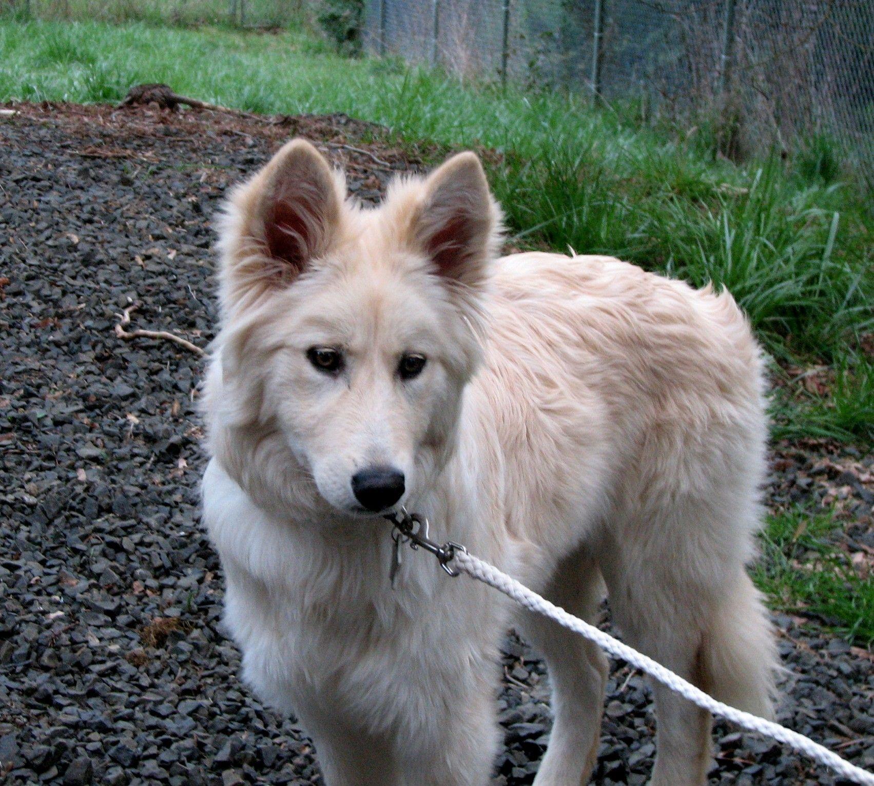 Samoyed Mixed With German Shepherd Samoyed Mix Pup...