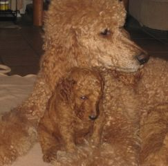 Raspberry Woods Standard Poodles Middle Point Ohio Standard