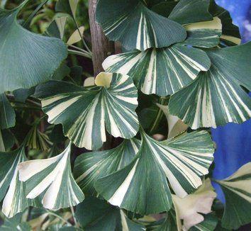Ginkgo biloba 'White Lightning'  | plant lust