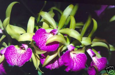 Orchids from Green Drop Home - Orchids : The largest orchid in the world - orchids, rare plants, plants supply, hydroponic supply