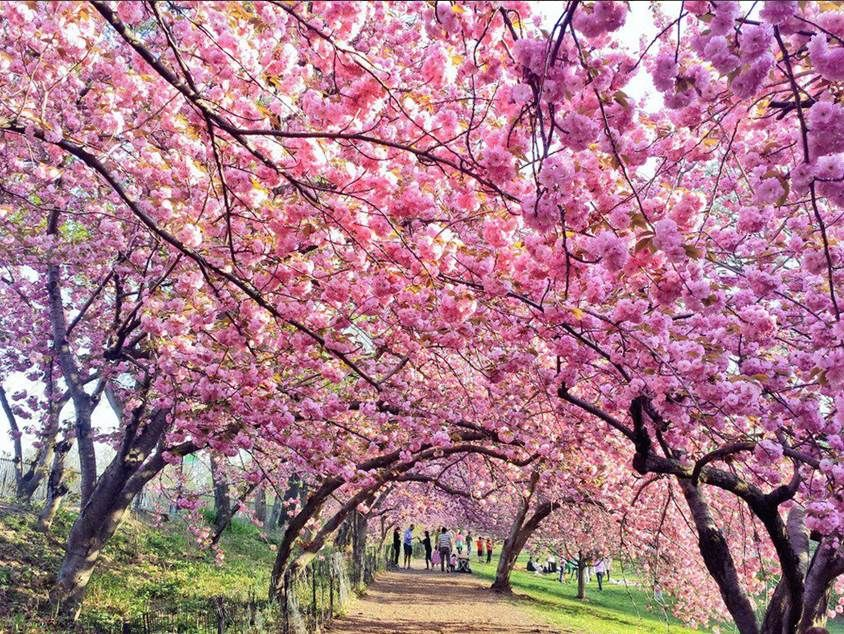 Cherry blossoms! MT @gigi_nyc: #Hanami at the west side of the bridle path around The Reservoir @CentralParkNYC #NYC