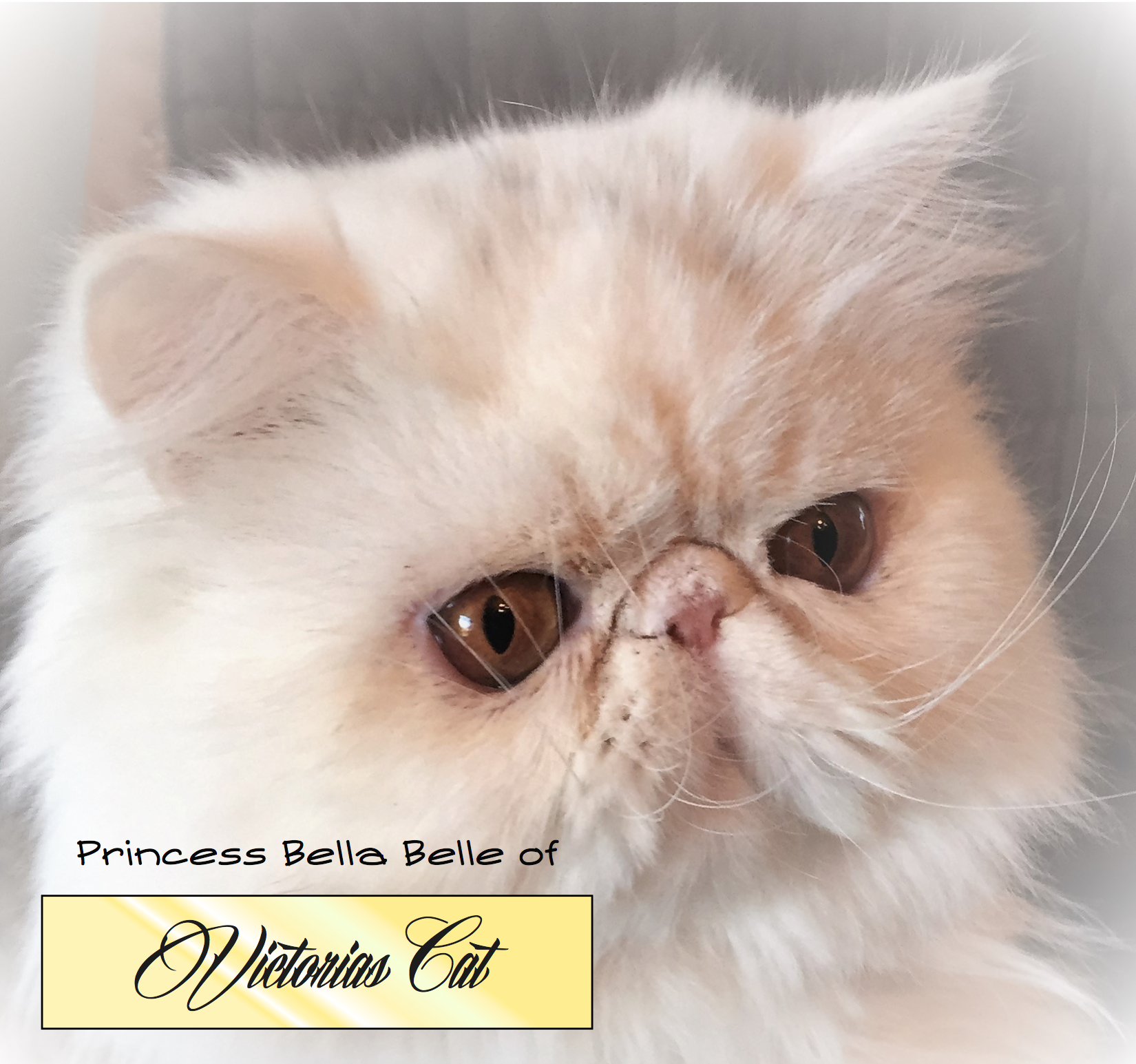 Pin by TechConcerns on Victorias Cat Exotic shorthair