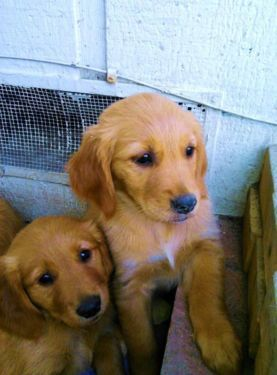 Golden Retriever Puppies Beautiful Purebred 8 Weeks Old