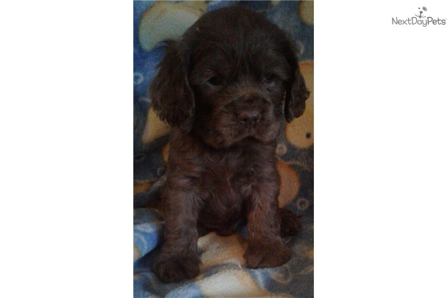 Cockapoo Puppy For Sale Near Springfield Missouri F7f0924c 22a1 Cockapoo Puppies For Sale Cockapoo Puppies Puppies