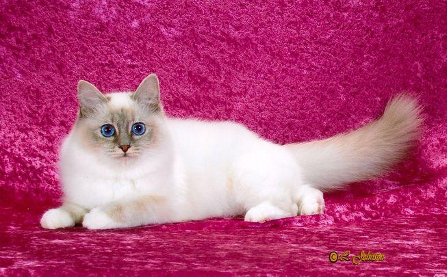 Voijer Birmans / New Jersey Birman cat, Cattery, Cats