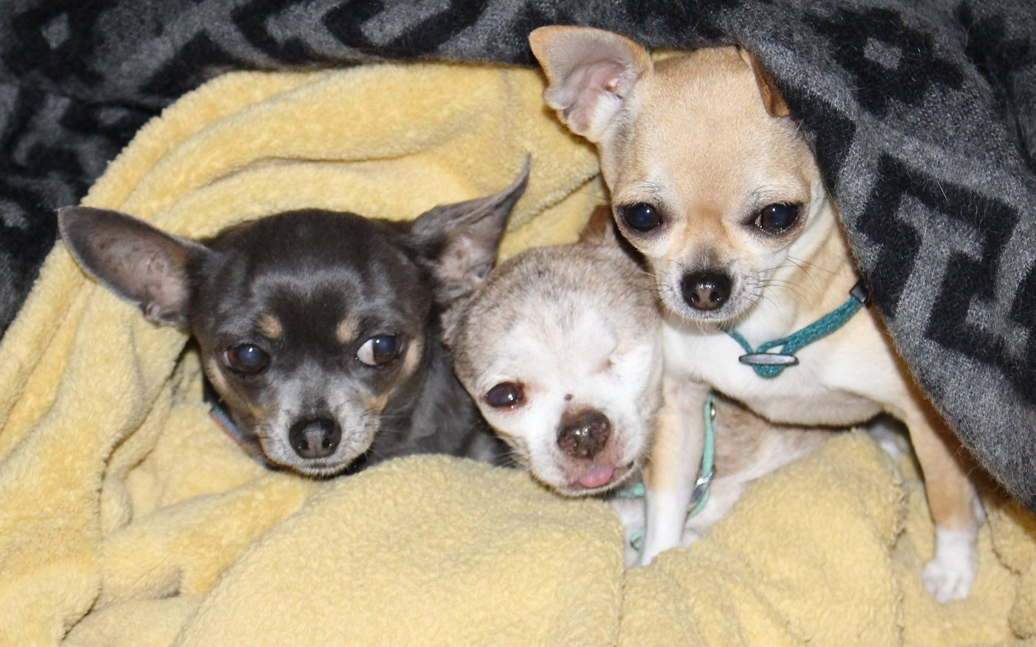 Pin By Cyndy Young On Harley Chihuahua Puppy Mills Little Dogs