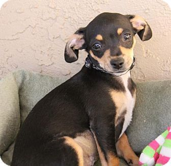 Laura Belle Is A 3month Old Dachshund Min Pin Mix Looking For Her