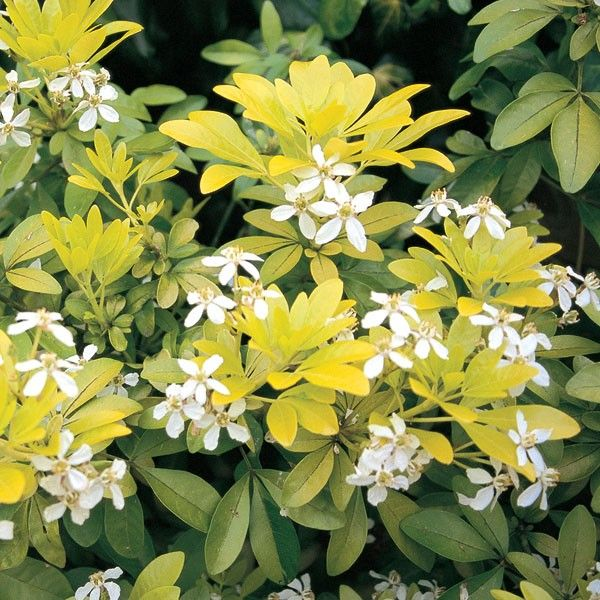 Choisya Ternata Sundance Mexican Orange Blossom Evergreen Shrub