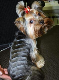 How Cute Rocking Shaved Back Yorkie Haircuts Creative