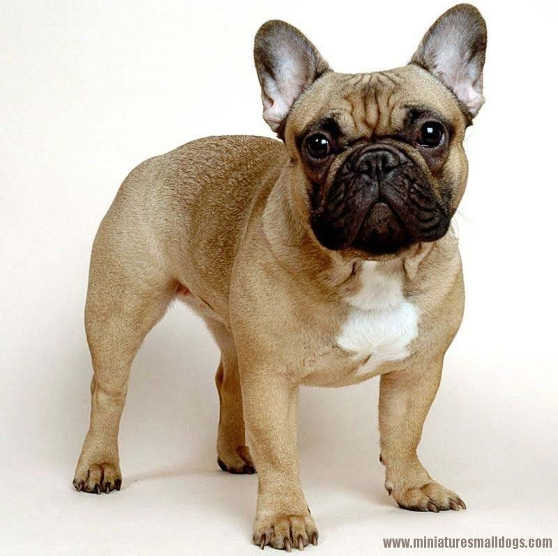 Miniture French Bulldog French Bulldog Breed French Bulldog