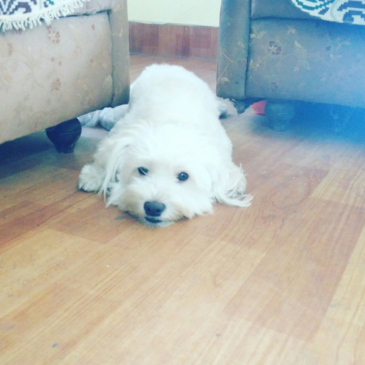 Thor Thorthelhasa Lhasapoo Lhasas Lhasab Love Petlove Dog Dogs Puppy Pup Cute Dogtshirts Dogtreats Dogballs Lh Dog Tshirt Lhasa Apso Dog Treats