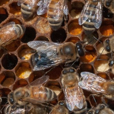 These Scientists Say We Should Be Feeding Bees Mushroom Juice