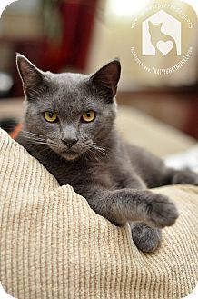 Valencia Ca Russian Blue Meet Henry A Cat For Adoption Russian Blue Cute Cats And Kittens Russian Blue Cat