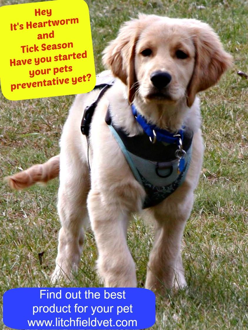 Tanner the Golden Retriever wants to remind everyone that it is Heartworm and Tick Season.  Spring is the time to start your dog on preventative if you haven't already.  A team member at Litchfield Veterinary Hospital in Litchfield CT.  can help you choose the best product for your pets needs.