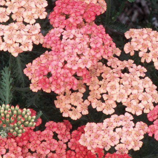 Apricot Delight Yarrow Finegardening Flowers Perennials Achillea Perennial Plants
