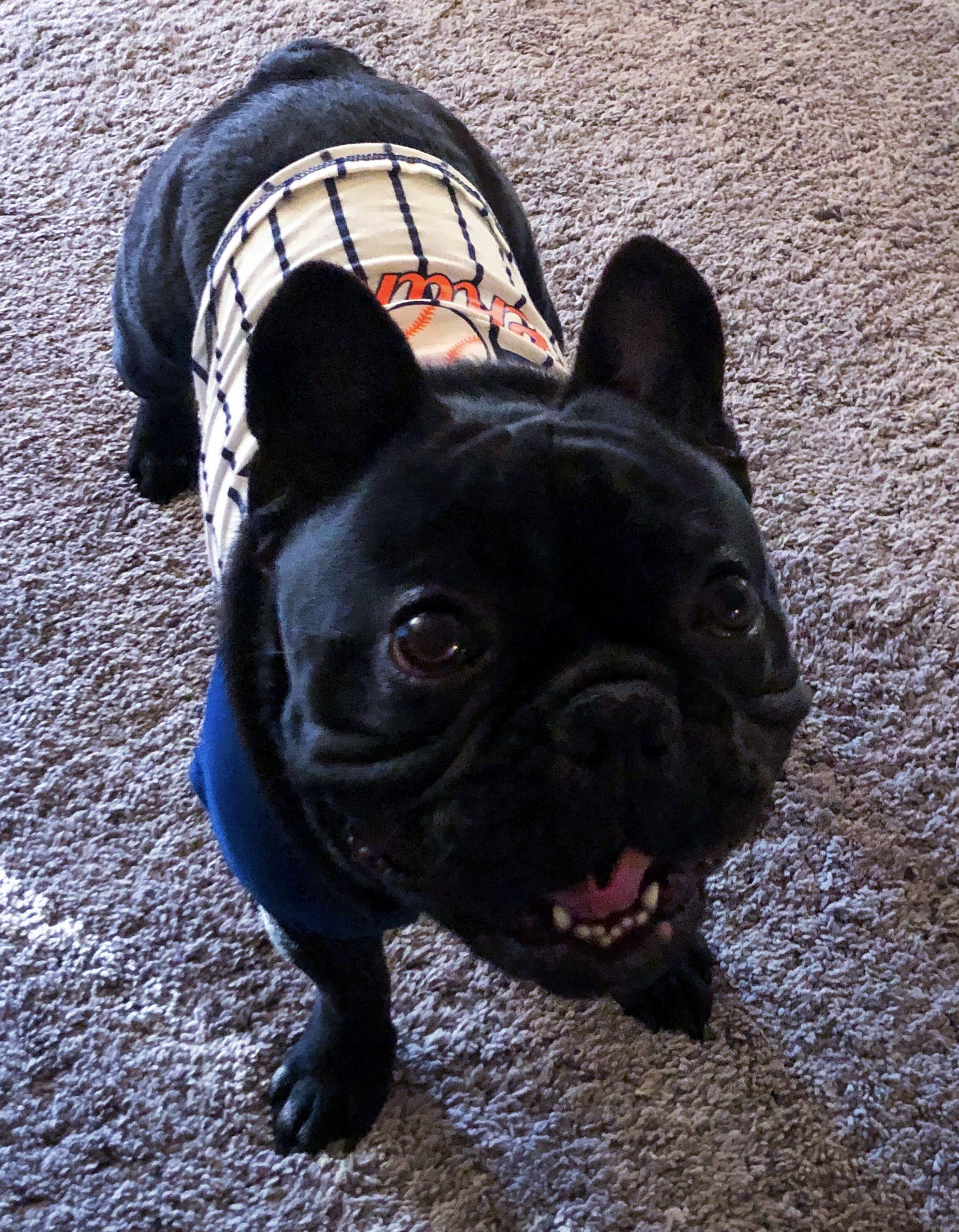 French Bulldog Illinois Breeder