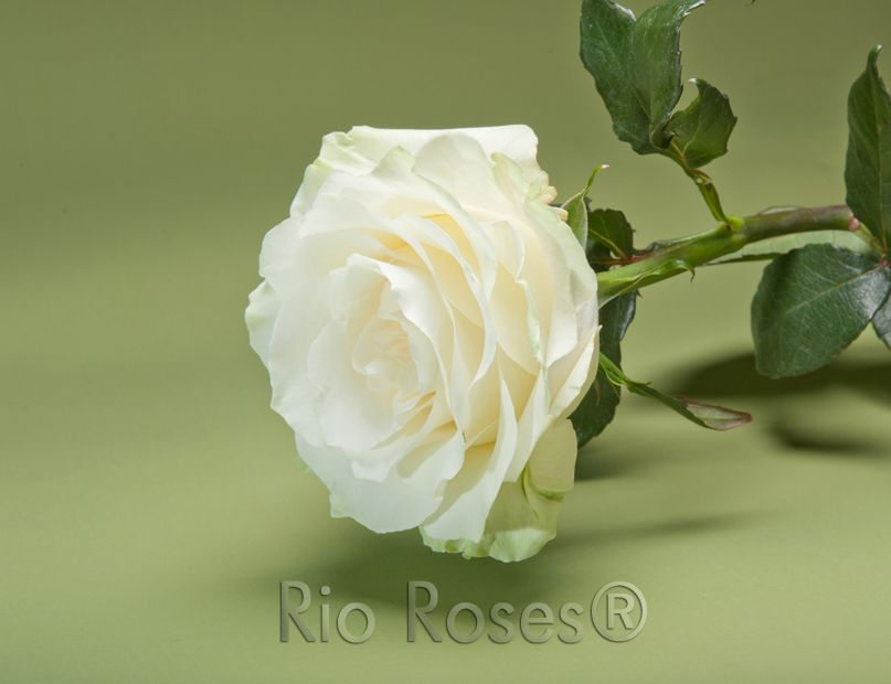 Rio Mondial Rose Creamy White Large Bud High Petal Count 8 10 Day Vase Life Available In 40 70 Cm Rose Jenny Flowers White Wedding Flowers