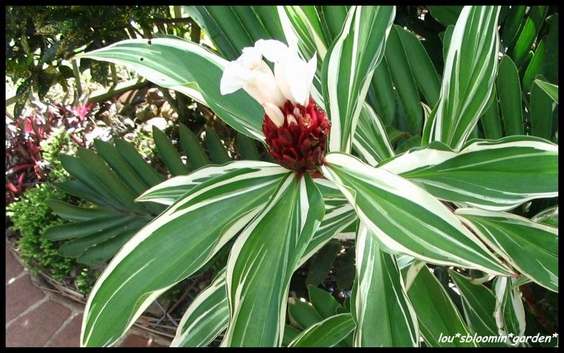Tropical Crepe Ginger Variegated Costus Speciosus Nice 1 Plant Plants Ginger Plant Planting Flowers